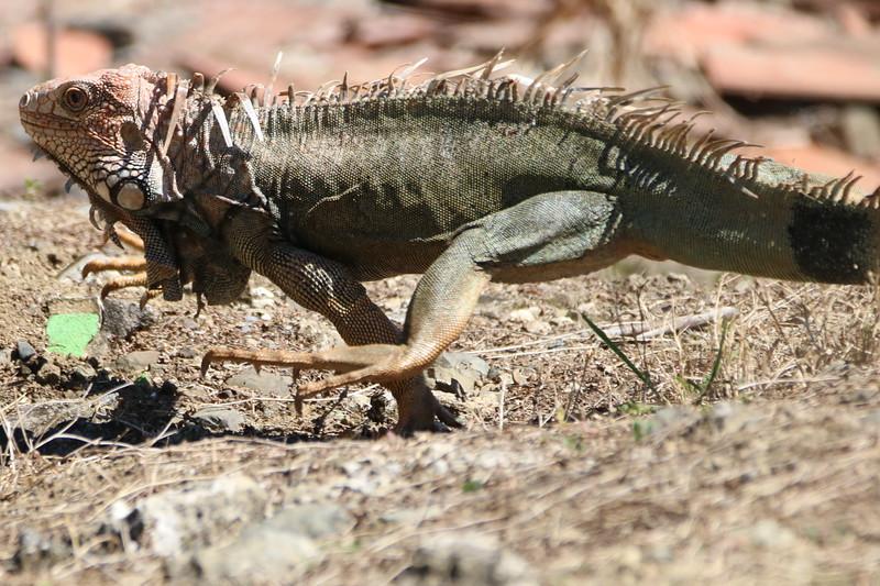 green iguana running on a rock