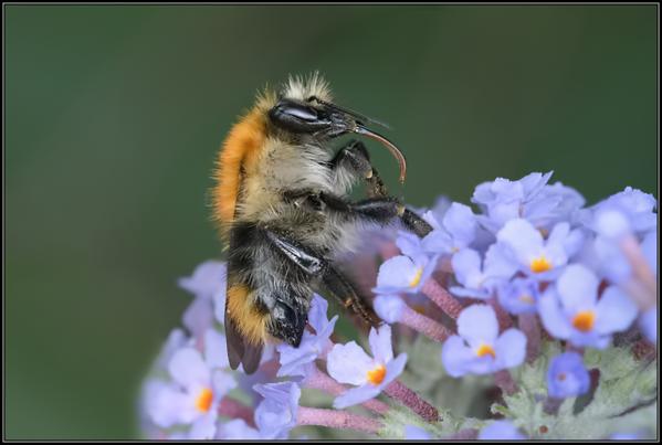 Akkerhommel/Common Carder Bumblebee