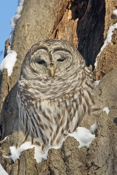 Owl - Barred - Minnehaha Park - Minneapolis, MN