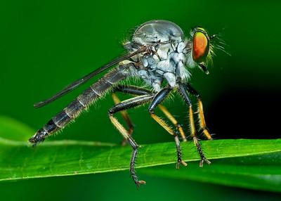 Dragonflies, Damselflies, Robberflies