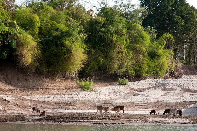lao_cows.jpg