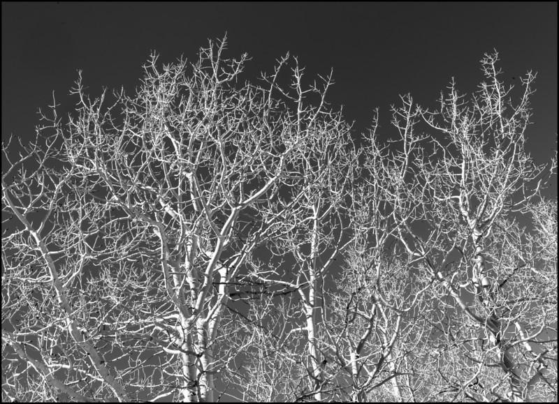 Sierra Winter Aspens 1