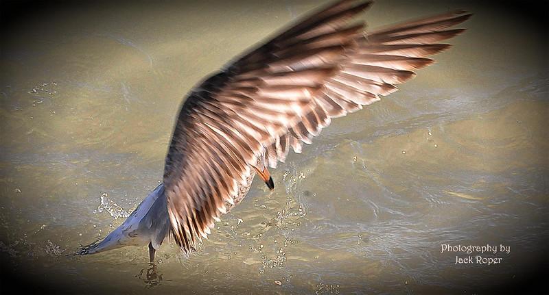 Sea Gull in Flight - Jack Roper 2  .jpg