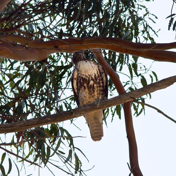 Red-tailed hawk in eucalyptus tree on Frairmont Ridge.