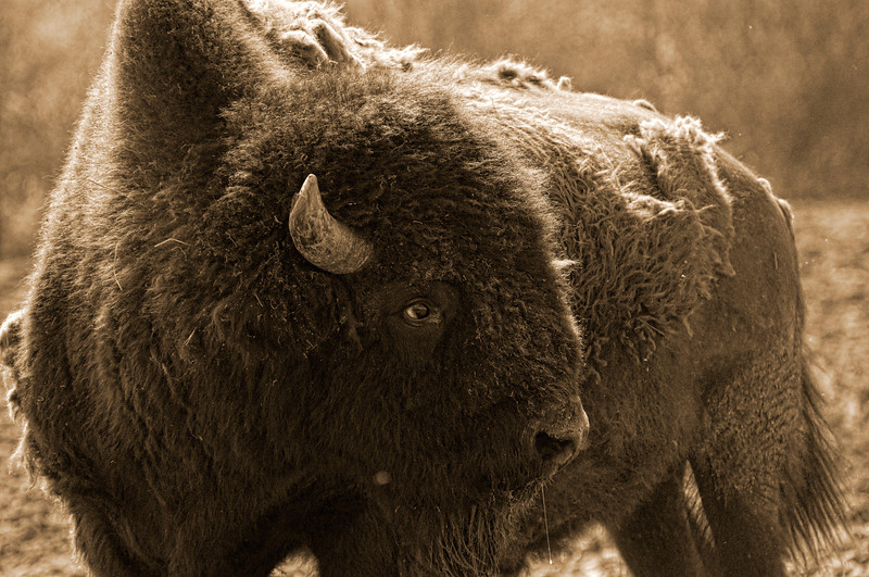 Bison pose in the Alaska Wildlife Sanctuary.