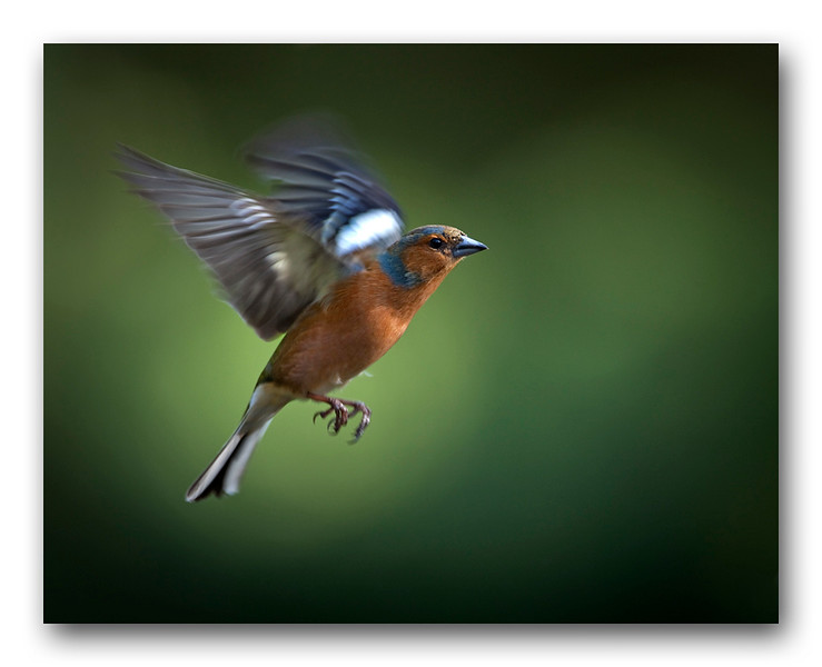 Chaffinch Flight 5-1.jpg