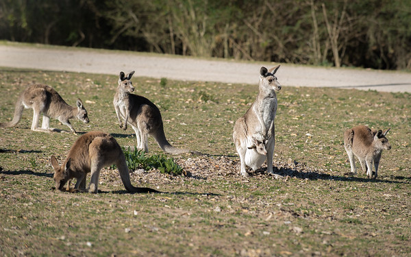 Kangaroos at Cattai Park