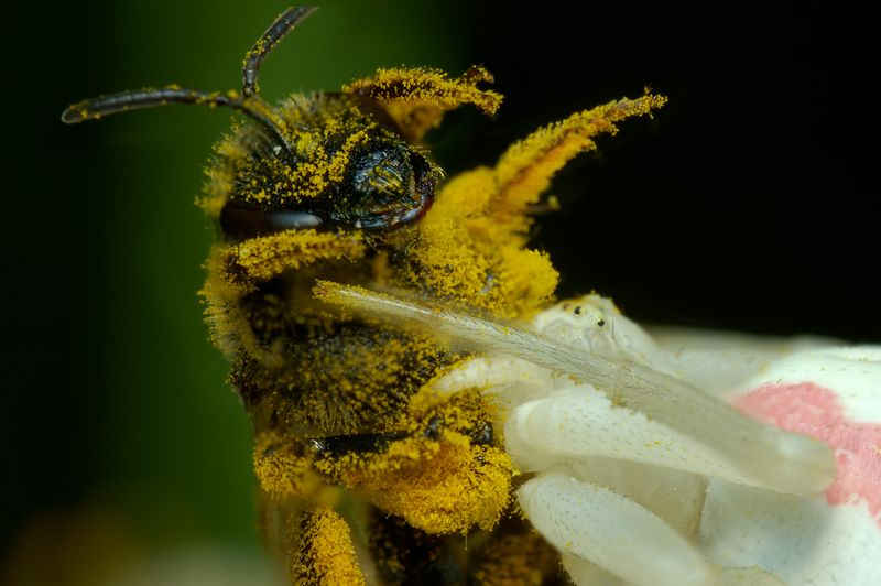 A bee came to close to this Crab Spider.