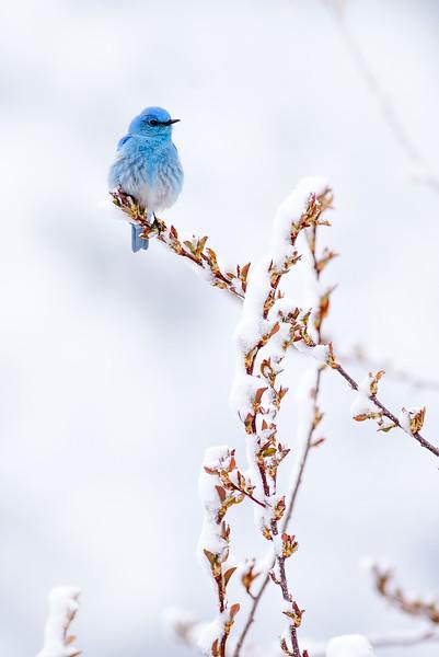 Mountain Bluebird in snow Yellowstone National Park WY YAZG9094.jpg