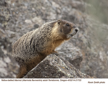 Yellow Bellied Marmot A21722.jpg