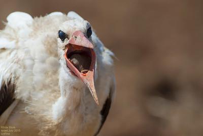 White Storks?