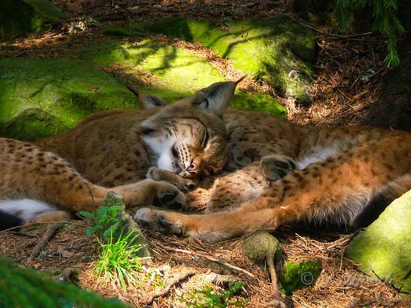 Europæisk los, Eurasian lynx - (Lynx lynx)