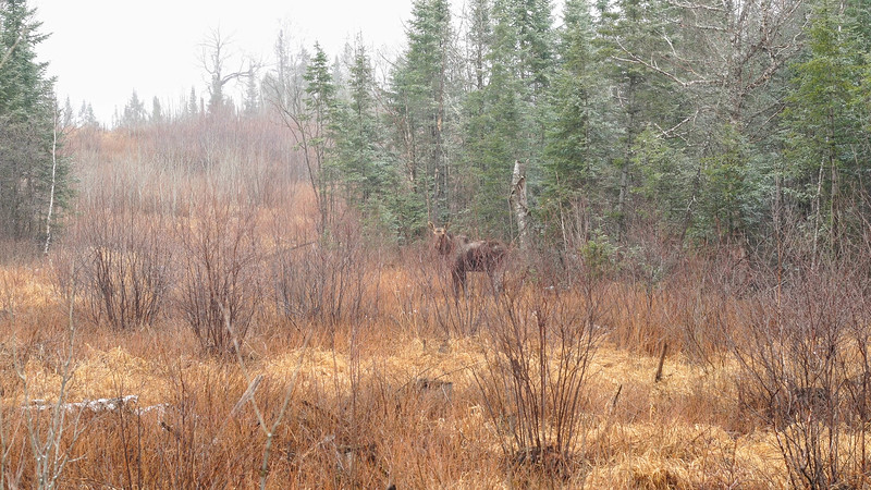 Moose ghost Moose CR15 Stoney River Forest Road Superior National Forest Lake County MN C0092-2.jpg