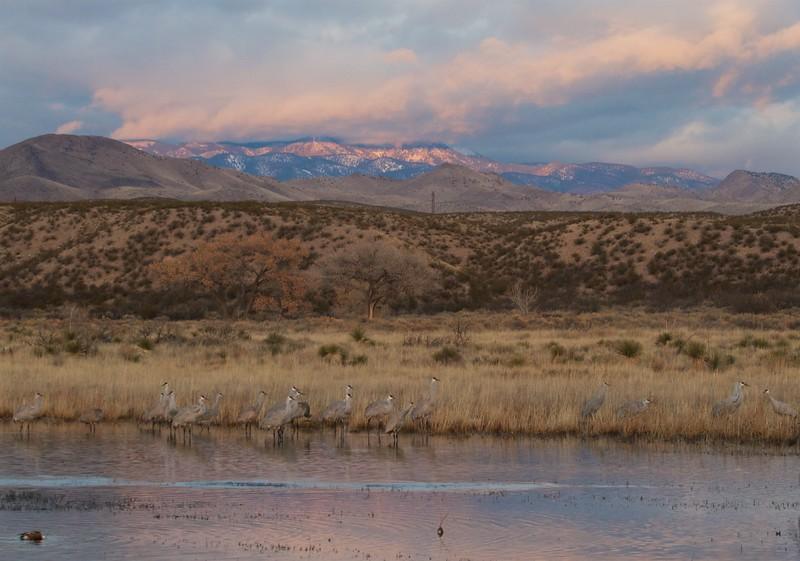 Sandhill Crane Bosque del Apache NWR Socorro NM IMG_0007327.CR2.jpg