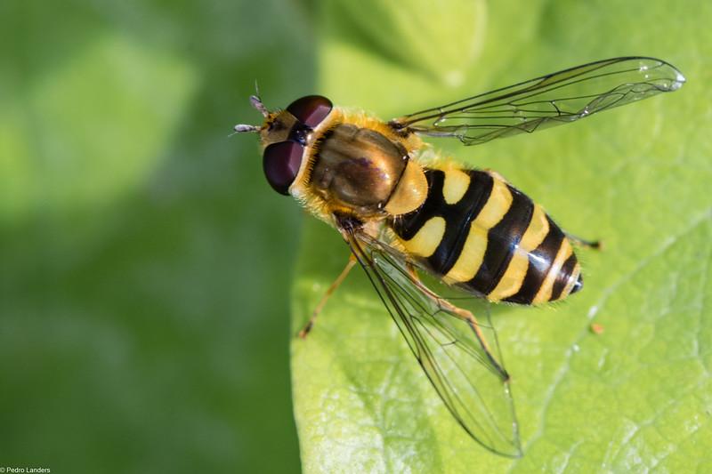 I AM a Wasp! Honest