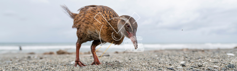 wide angle close up encounter with a Western or southern weka
