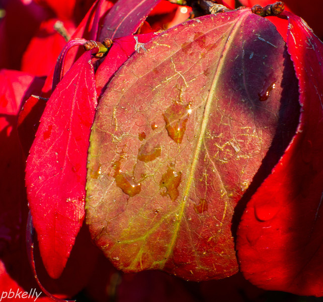 10-07.  Dew on the Pyracanthus leaves.