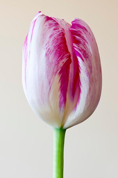 rembrandt tulip.jpg