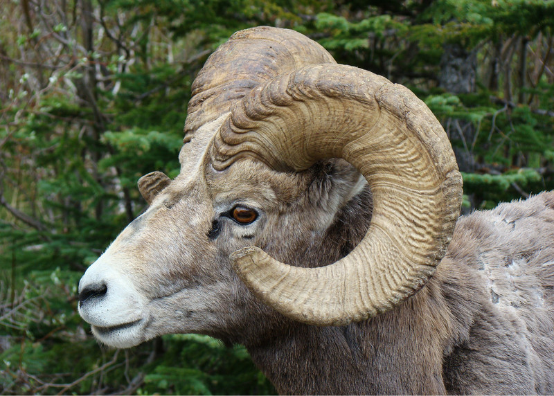 BIGHORN SHEEP - BANFF