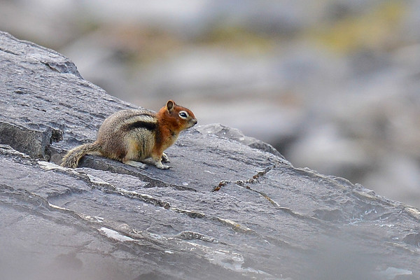 8 2013 Aug 30 Golden-manteled Ground Squirrel