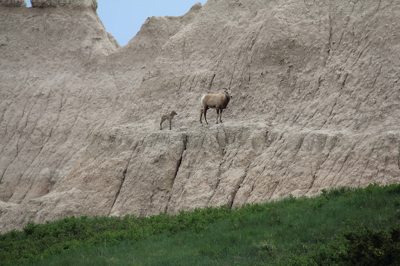 20140523-159-BadlandsNP-MountainGoats.JPG
