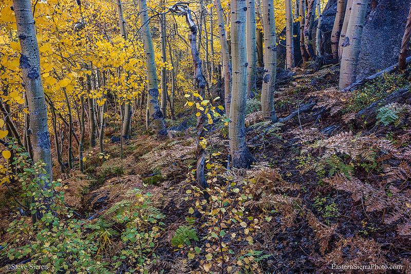 Bishop Creek Ferns in the Fall - Eastern Sierra