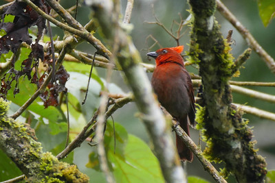 The Tanagers