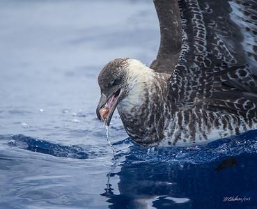 Pelagic Birding 2007 to 2013