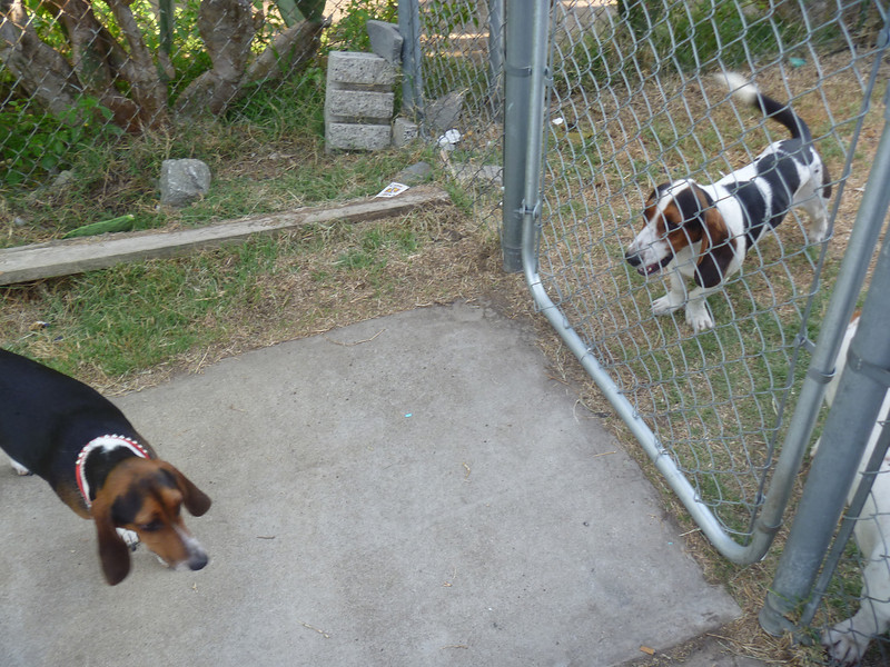 Suki and Marco, he's much bigger than Suki, looks more like a Basset