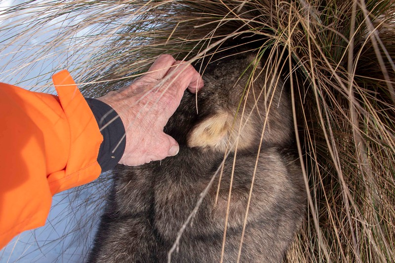 Wombat 8 aug 8  2019_1.jpg