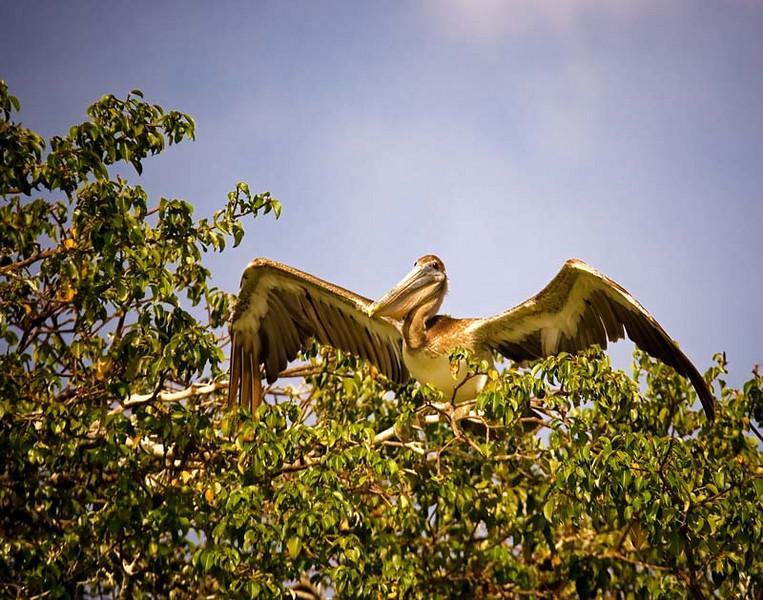 pelicansitting.jpg