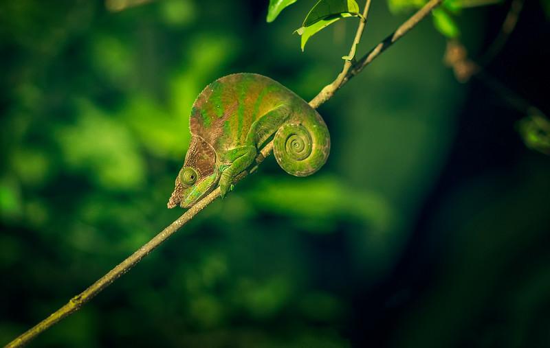 Ranomafana Chameleon