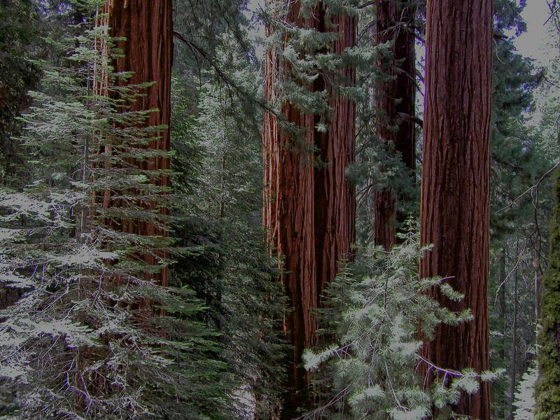 California Sequoias 1.