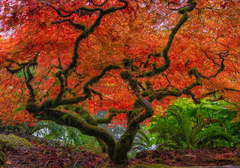 Japanese Maple at Kubota Garden.jpg