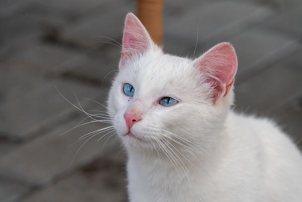 Cats of Romania
