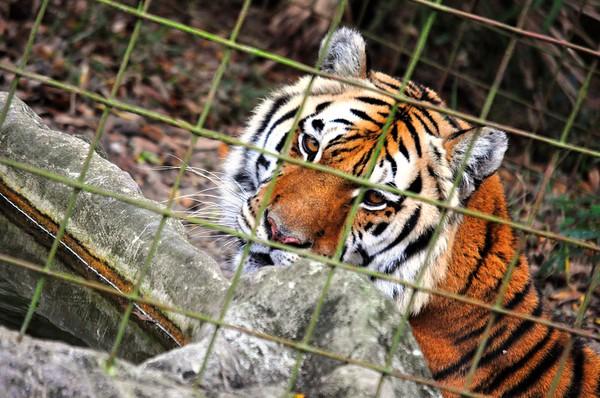 Big Cat Rescue (Tampa, Florida)