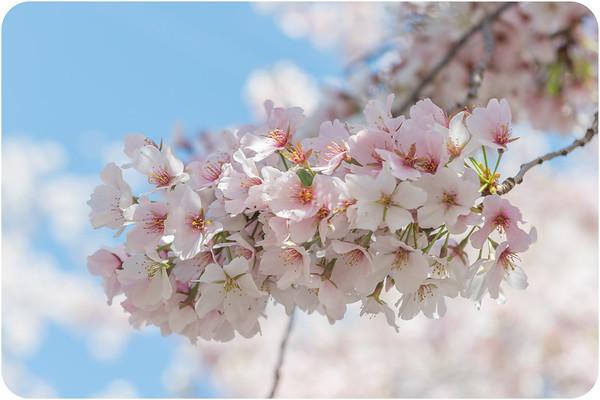 Cherry Blossom/ Sakura