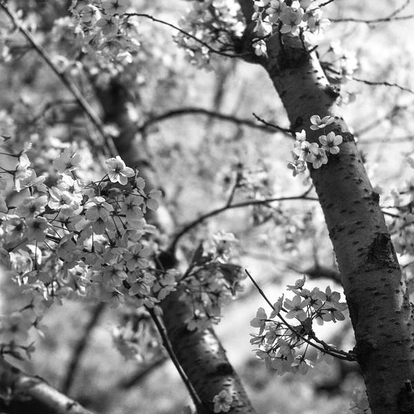 Cherry Blossoms | April 2017