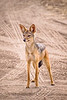 Jackal standing on a dirt road in Africa. Photography fine art photo prints print photos photograph photographs image images artwork.