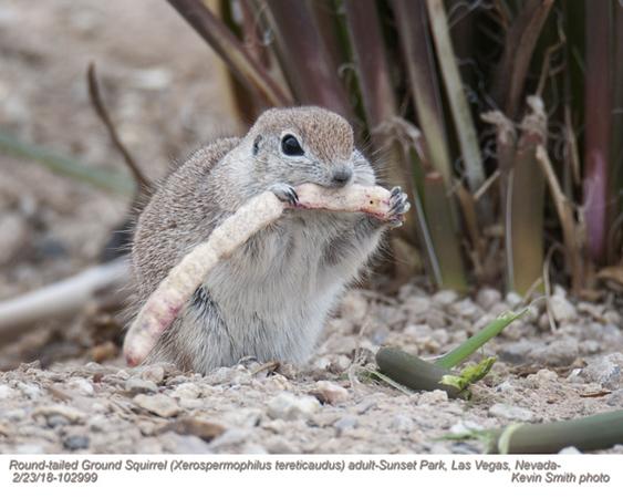Round-tailed Ground Squirrel A103999.jpg