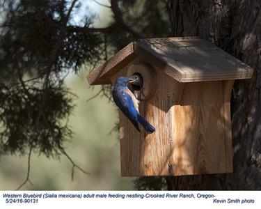 Western Bluebirds M & Nestling 90131.jpg