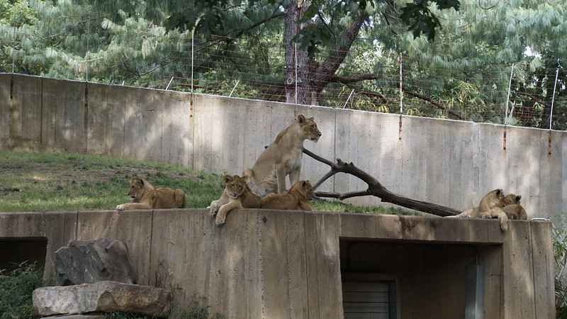 A pride of lions with six cubs.