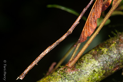 INSECT - stick insects-2334
