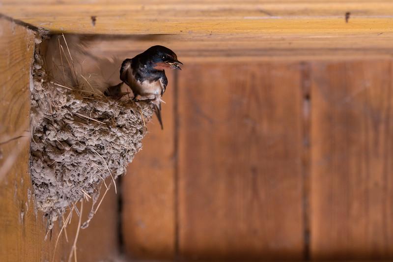 dymówka | barn swallow | hirundo rustica