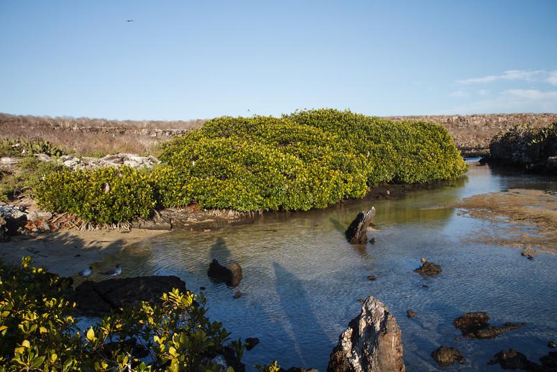 Mangroves with Boobies at Darwin Bay, Genovesa, Galapagos, Ecuador (11-25-2011) - 844.jpg