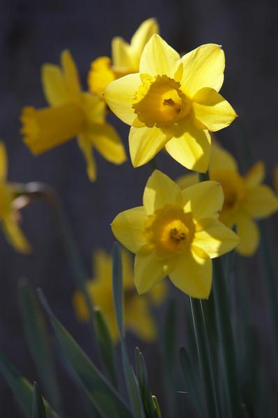 Daffodil - 4909.jpg