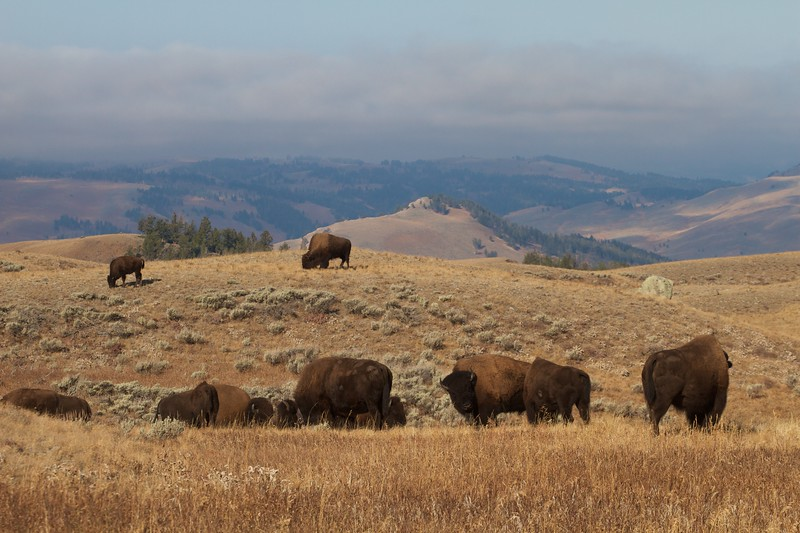 Bison herd Blacktail Plateau Dr. Yellowstone N.P. WY IMG_0068853.jpg
