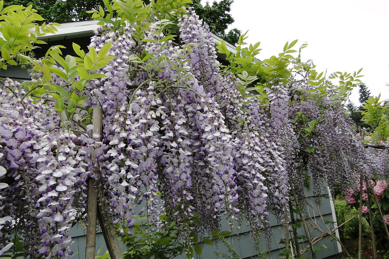 Wisteria 'Burford'