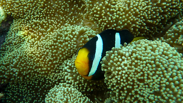 Clark's anemonefish, Amphiprion clarkii
