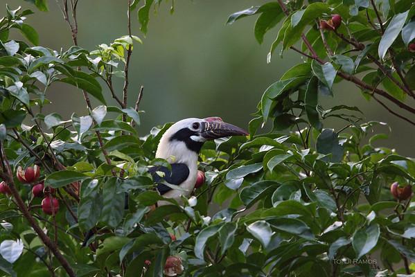 Visayan  Hornbill
